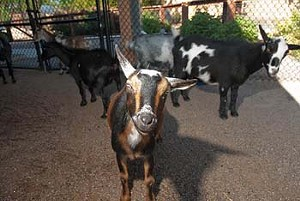 Goats in the Childeren's Zoo area at the Oklahoma City Zoo.  mh