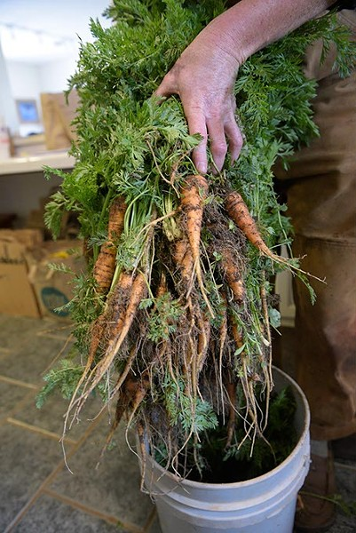 Carrots at Prairie Earth Gardens, Tuesday, April 4, 2017. - GARETT FISBECK