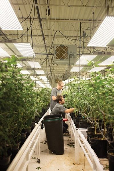 GrOKC employees tending to the cannabis flower at its Oklahoma City operation - ALEXA ACE