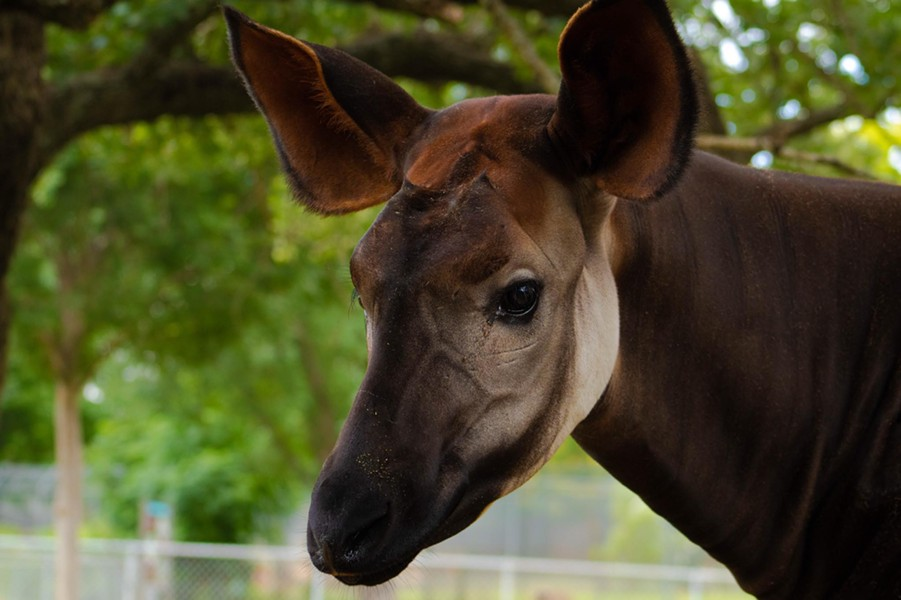 Okapi - OKLAHOMA CITY ZOO / PROVIDED