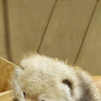 Oklahoma City Zoo welcomes new red panda cub