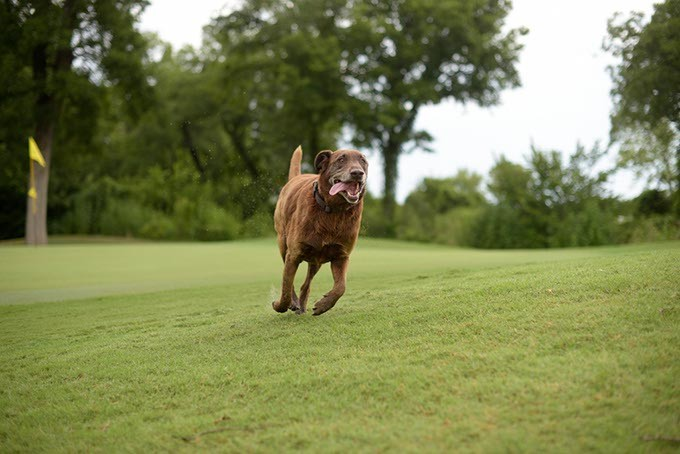 Scout runs the Firelake Golf Course in Shawnee, Monday, July 31, 2017. - GARETT FISBECK