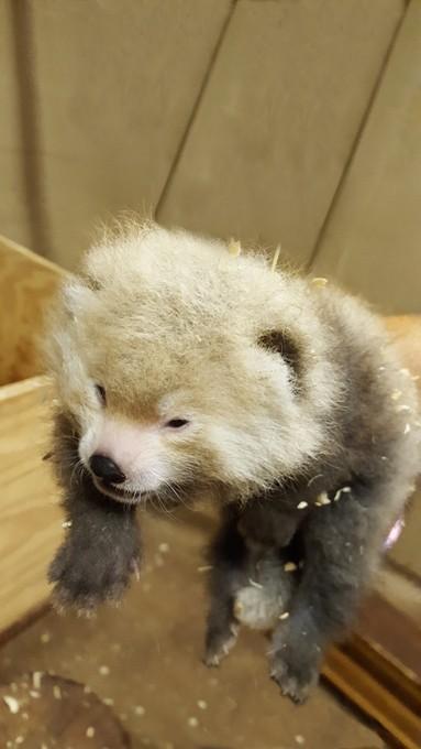 Red-Panda-Cub-OKC-Zoo-08-2016-Photo-Jennifer-Jeffords-OKC-Zoo-Provided.jpg