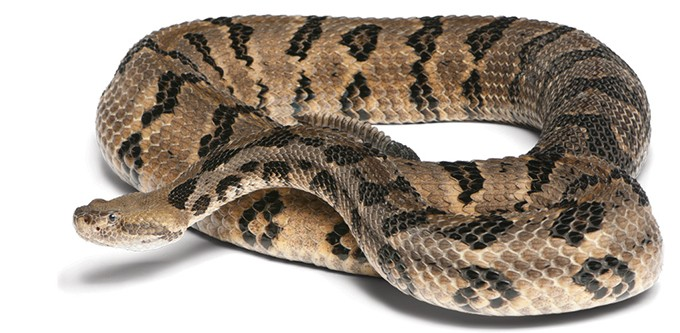Timber rattlesnake - BIGSTOCK.COM