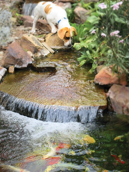 Waterfall Festival features koi races and raises money for Central Oklahoma Humane Society. - GARDEN PONDS &  AQUARIUMS UNLIMITED / PROVIDED