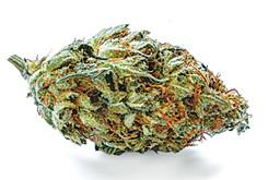 Flower Review: Orange Velvet