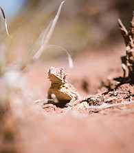 Texas Horned Lizard at Four Canyon Preserve - Uploaded by Larissa Balzer