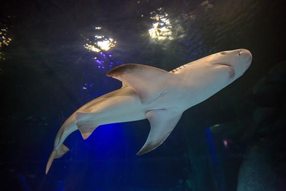 A sandbar shark checks out his new home at Sea Life Orlando - VIA SEA LIFE ORLANDO