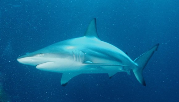 A typical black tip shark - PHOTO VIA WIKIPEDIA