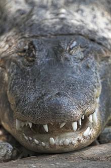 alligatorjpg