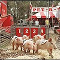 Days of swine and races