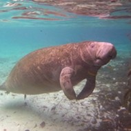 Do, me Orlando: Swimming with manatees at Plantation on Crystal River, Florida