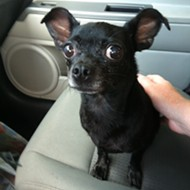 Do you recognize this black chihuahua, Orlando? Help us find her owners!