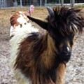Search continues for Elvis the fainting goat, friends