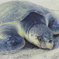 Endangered, hypothermic sea turtles gladdened at humans' disregard for evolution