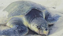 Endangered, hypothermic sea turtles gladdened at humans' disregard for evolution