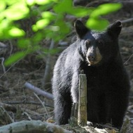 Florida wildlife officials give thumbs up for black bear hunt this fall