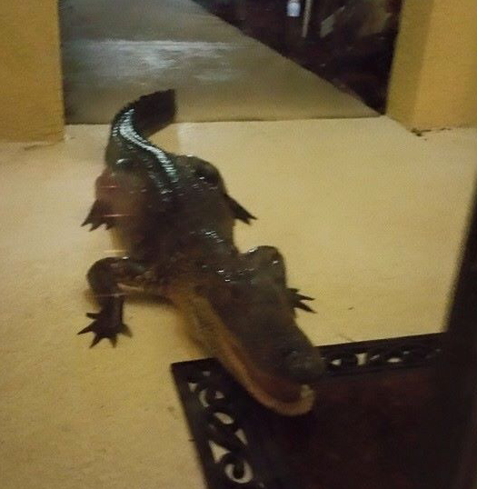 Good Boy Dog Alerts Florida Family To 7ft Gator At Front Door Blogs