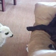 Happy Thursday. Here's a video of a baby lamb trying to get a lazy dog to pay attention.