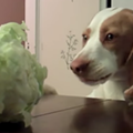 Happy Thursday! Watch this video of a dog desperately trying to steal a cabbage