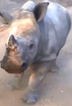 Happy Tuesday. Here's a baby white rhino stomping around like a baby goat.