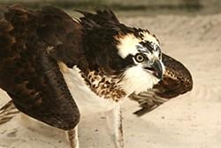 Image via Audubon Center for Birds of Prey