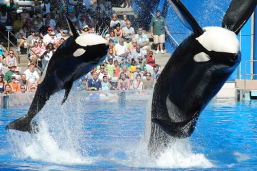 Killer whales, photo by Jason Kelly