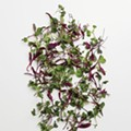 Local ingredient: Microgreens