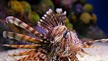 Florida Wildlife Commission puts smack down on invasive and venomous lionfish
