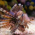 Florida Wildlife Commission puts smack down on invasive and venomous lionfish