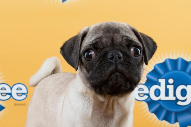 Penelope the pug is one of the Florida Little Dog Rescue pups selected for Puppy Bowl XI. - ANIMAL PLANET