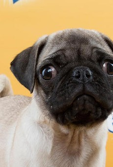 Penelope the pug is one of the Florida Little Dog Rescue pups selected for Puppy Bowl XI.