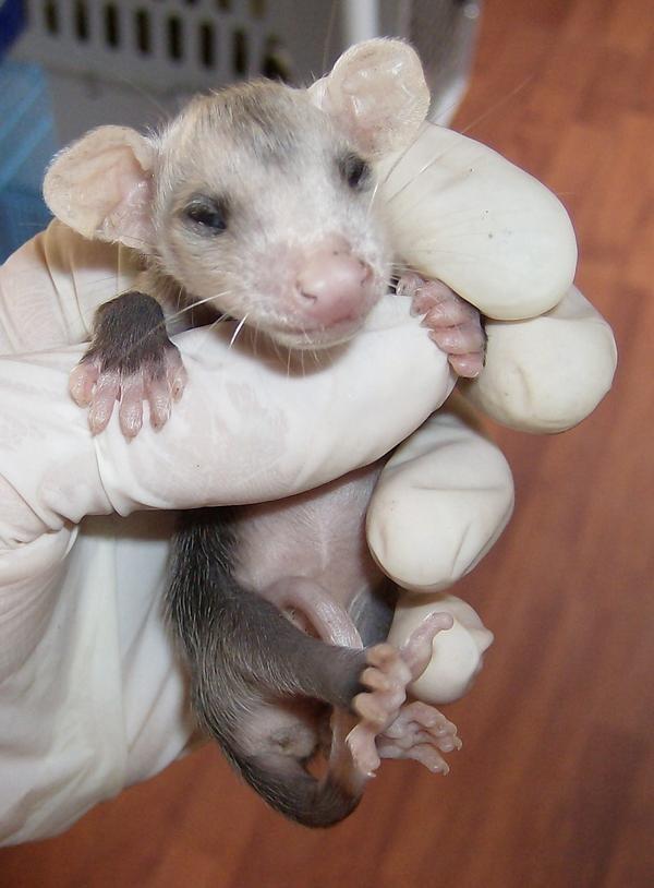 baby_opossumjpg