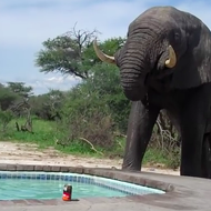 Happy Monday. Check out this video of an elephant crashing a pool party.