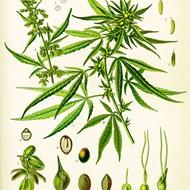 Panel create draft rules for Florida nurseries allowed to grow Charlotte's Web strain of medical marijuana