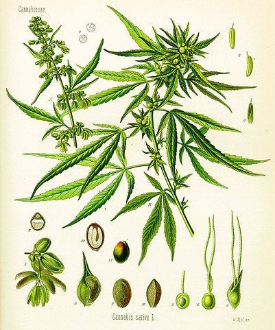 CANNABIS AS ILLUSTRATED IN KÖHLER'S BOOK OF MEDICINAL PLANTS FROM 1897