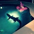 Alligator chooses tranquility of Bradenton couple's pool over natural habitat