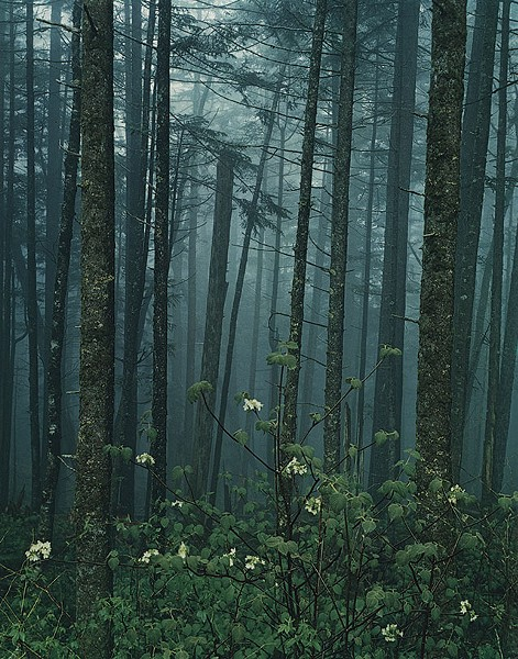 "The Growth of a Collection - ""HOBBLEBUSH, GREAT SMOKY MOUNTAINS NATIONAL PARK, TN (1968)"" BY ELIOT PORTER"