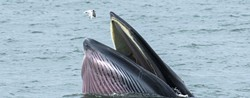 "This is a Bryde's whale, though not one of the newly discovered pod. They eat ""planktonic crustaceans,"" not seagulls. (photo via"