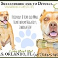 Two senior pit bulls surrendered to shelter due to divorce need homes ASAP