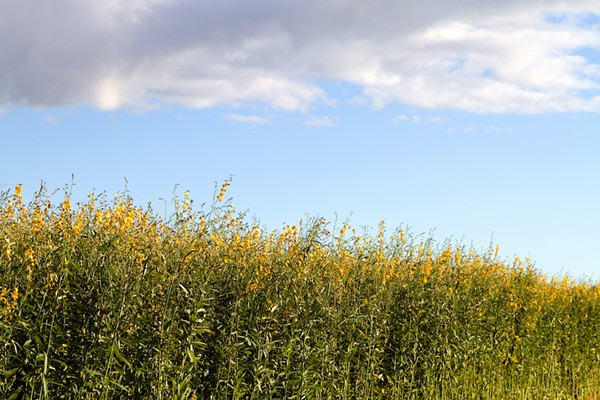 AN INDUSTRIAL HEMP FIELD