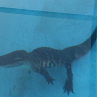 Here in Florida, you can pretty much always assume a gator is in your pool