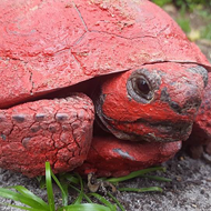 Florida man arrested for dumping red paint into gopher tortoise burrow