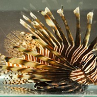 Wildlife officials remove more than 15,000 lionfish from Florida waters