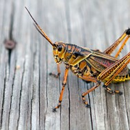 Orlando must learn to live with its giant grasshopper overlords