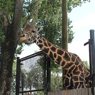 Central Florida Zoo's popular giraffe, Emba, has died