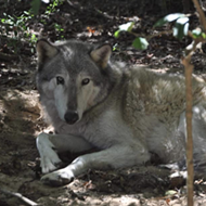 A wolf escaped from a Florida wildlife sanctuary during Hurricane Michael, and now there's a reward offered for its return