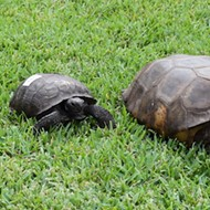Please enjoy this enormous Florida gopher tortoise