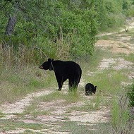Nine arrested for luring Florida black bears with doughnuts, attacking them with dogs