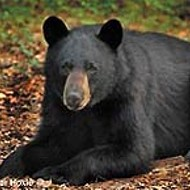 FWC approves black bear hunt in Florida